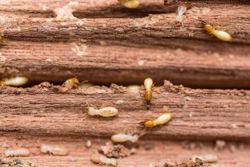 termites 1