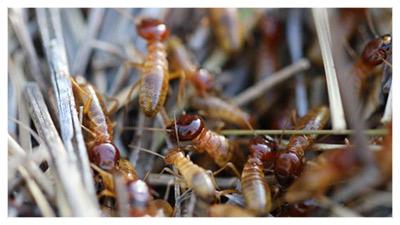Harvester-Termites