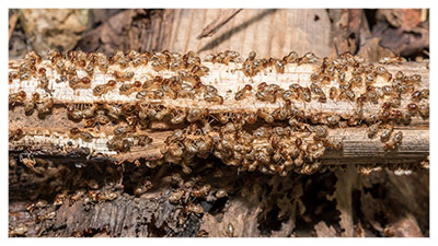 wood-destroying-insects
